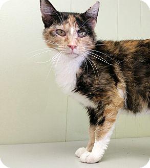 Calico Cat for adoption in Indianola, Iowa - C16