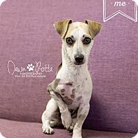 Dachshund/Chihuahua Mix Dog for adoption in Phoenix, Arizona - Blaze