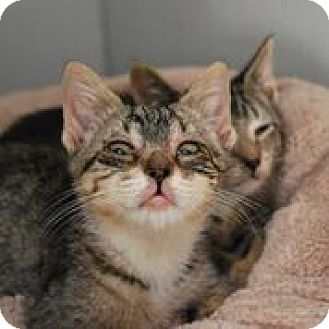 Domestic Shorthair Kitten for adoption in Norwalk, Connecticut - Tabby Kitties