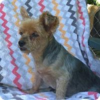 Yorkie, Yorkshire Terrier Dog for adoption in Overland Park, Kansas - Joe