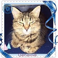 Maine Coon Cat for adoption in Harrisburg, North Carolina - Genavive