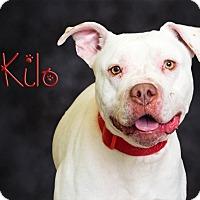 Adopt A Pet :: Kilo - Somerset, PA