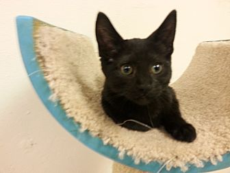 Domestic Shorthair Cat for adoption in Milwaukee, Wisconsin - Lovey