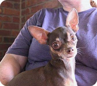 Chihuahua Mix Dog for adoption in Los Banos, California - Chula