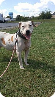 Pit Bull Terrier/Labrador Retriever Mix Dog for adoption in Shelbyville, Tennessee - Annabelle