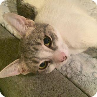 Domestic Shorthair Kitten for adoption in Toronto, Ontario - Cersi