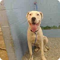 Pit Bull Terrier Mix Dog for adoption in San Bernardino, California - URGENT on 10/25 SAN BERNARDINO
