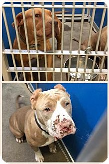 American Pit Bull Terrier Dog for adoption in Greenville, Texas - Cage 10