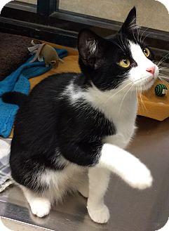 Domestic Shorthair Cat for adoption in Houston, Texas - Lu Lu