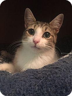 Domestic Shorthair Cat for adoption in Hoffman Estates, Illinois - Gracie