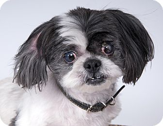 Shih Tzu Dog for adoption in Chicago, Illinois - Porche
