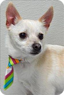 Chihuahua Mix Dog for adoption in Topeka, Kansas - Sheldon