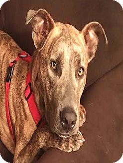 Boxer/Plott Hound Mix Dog for adoption in Kirkland, Washington - Canyon-FOSTER NEEDED!