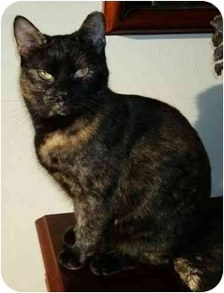 Domestic Shorthair Cat for adoption in Reston, Virginia - Charlotte