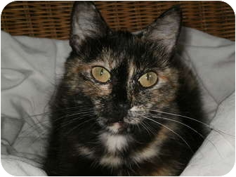 Domestic Shorthair Cat for adoption in Morris, Pennsylvania - Ivy.....needs spay sponsor