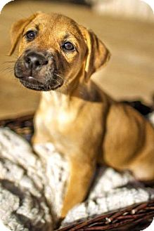 Boxer Mix Puppy for adoption in Winston-Salem, North Carolina - Jazzy