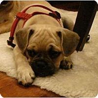 Adopt A Pet :: Spanky - Windermere, FL