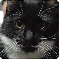 Adopt A Pet :: Snowdrop - Lunenburg, MA
