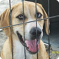 Australian Shepherd/Black Mouth Cur Mix Dog for adoption in Mexia, Texas - Trista
