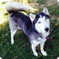 Adopt A Pet :: Niki - Seymour, CT