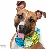 Adopt A Pet :: *APPLE - Sacramento, CA