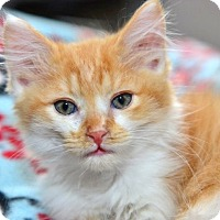 Adopt A Pet :: Orange Julius - Davis, CA