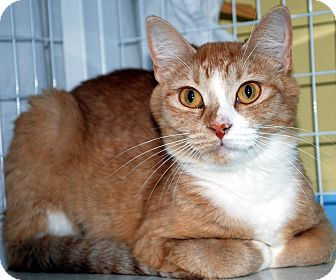 Domestic Shorthair Cat for adoption in Hayden, Idaho - Alani