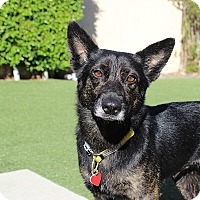 Adopt A Pet :: Trixie is one smart cookie! - Los Angeles, CA