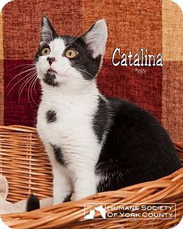 Domestic Shorthair Cat for adoption in Fort Mill, South Carolina - Catalina 5366c