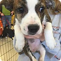 Adopt A Pet :: Madelyn's Puppy - Blossom - Midlothian, VA