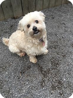 Shih Tzu/Lhasa Apso Mix Dog for adoption in Toronto/GTA, Ontario - XANDER