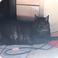 Domestic Shorthair Cat for adoption in El Dorado Hills, California - Theodore