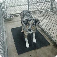Adopt A Pet :: Bandit - Greeley, CO