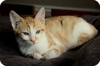 Domestic Shorthair Kitten for adoption in Nashville, Tennessee - Butterscotch