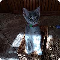 Adopt A Pet :: Avilla - Colorado Springs, CO