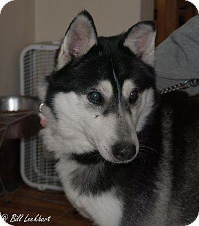 Siberian Husky Mix Dog for adoption in Shingleton, Michigan - Rook