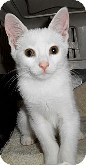 Domestic Shorthair Kitten for adoption in Chattanooga, Tennessee - Vanilla Bean