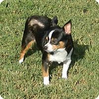 Adopt A Pet :: Sugar Baby - Umatilla, FL