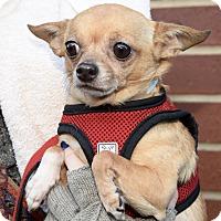 Adopt A Pet :: Pansy - New York, NY