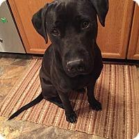 Adopt A Pet :: Perle Noir - Frederick, MD