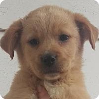 Adopt A Pet :: Charli - Bloomington, IL