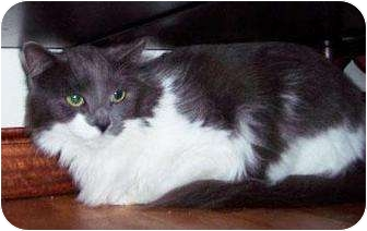 Domestic Longhair Cat for adoption in crofton, Maryland - Dakota