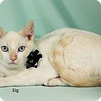 Adopt A Pet :: Sig - Kerrville, TX