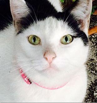 Domestic Shorthair Cat for adoption in Hallandale, Florida - Jill