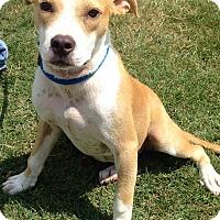 Adopt A Pet :: BUTTERSCOTCH - MILWAUKEE, WI