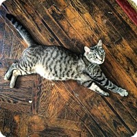 Adopt A Pet :: Nefertiti - New York, NY
