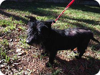 Scottie, Scottish Terrier Mix Dog for adoption in Providence, Rhode Island - Scotty in TX - Vet Hold