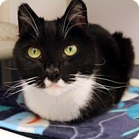 Adopt A Pet :: Domino - Bellevue, WA