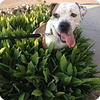 American Bulldog Mix Dog for adoption in Springfield, Missouri - Tank