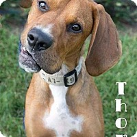 Hound (Unknown Type) Mix Dog for adoption in Newport, Kentucky - Thor